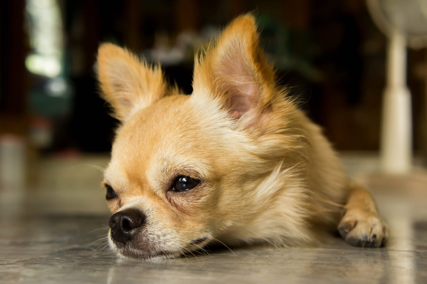 10 Signs Your Chihuahua Is Stressed.