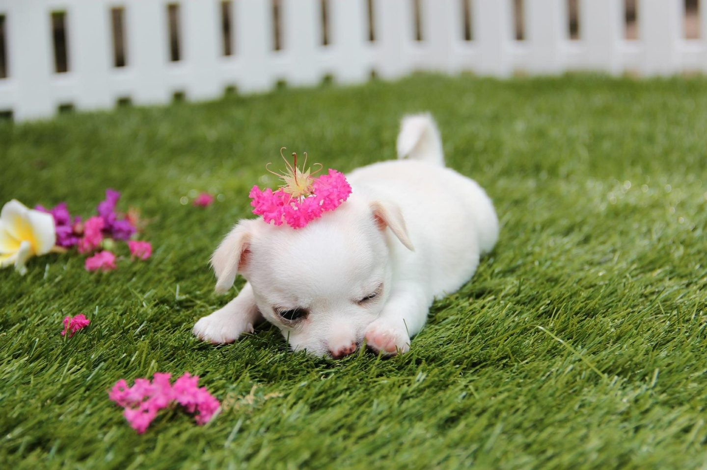 Tea-cup Chihuahuas To Become Illegal Under New Crackdown