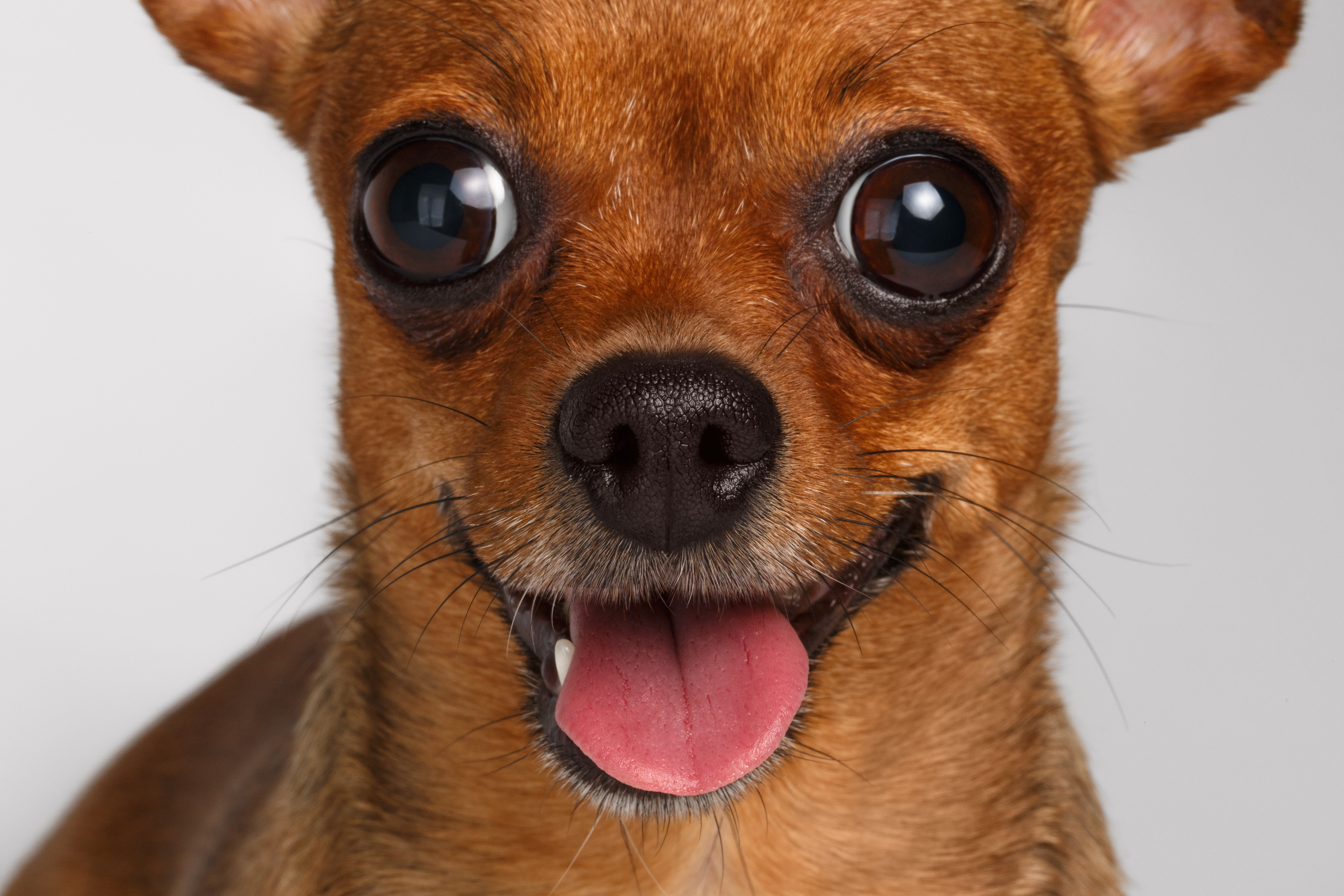 Chihuahuas were once the size of a terrier