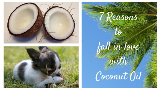 7 Reasons Coconut Oil is Super Good for your Chihuahua.