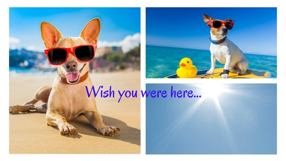 Why are chihuahuas more susceptible to sunburn than big dogs?
