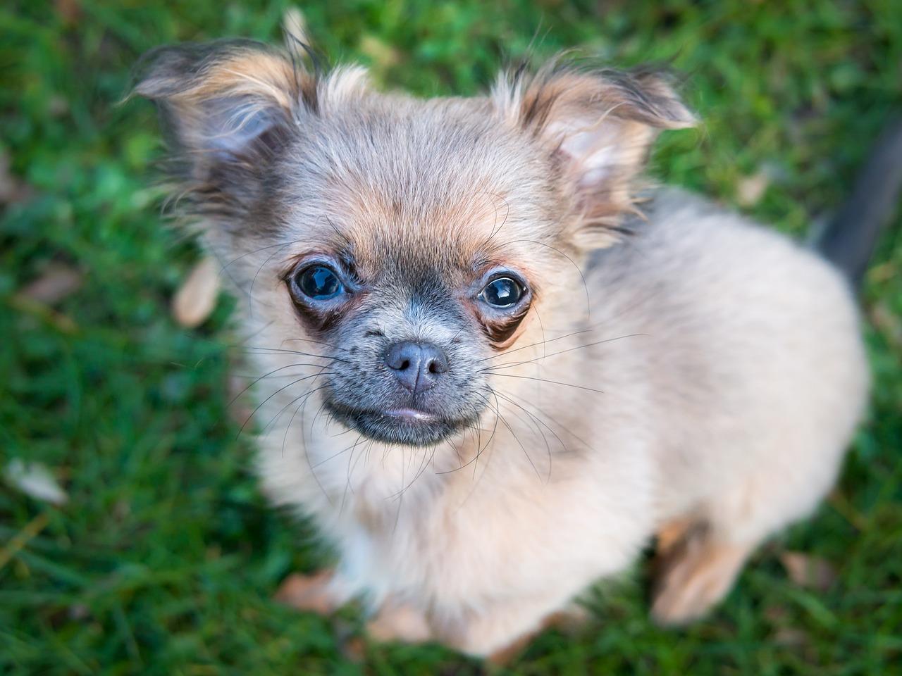 Chihuahua ancestors were mute!