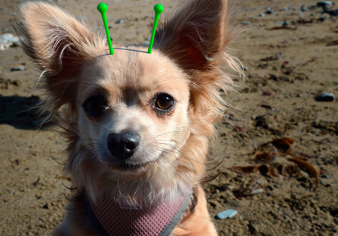 Are Chihuahua Aliens?
