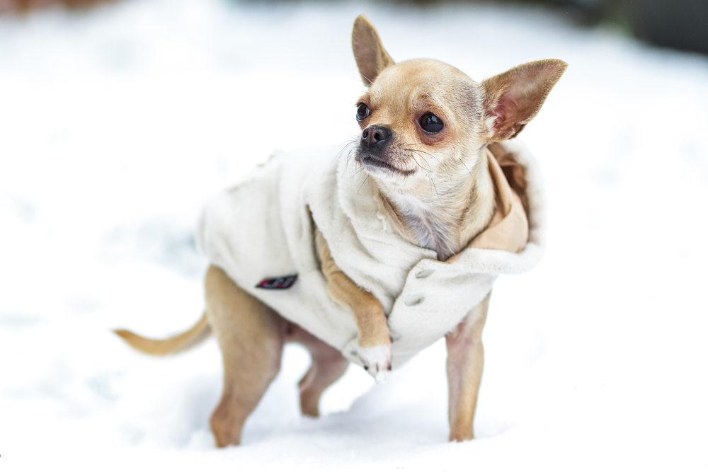 Winter Ready Chihuahua. Keep your chihuahua safe and well in the freez