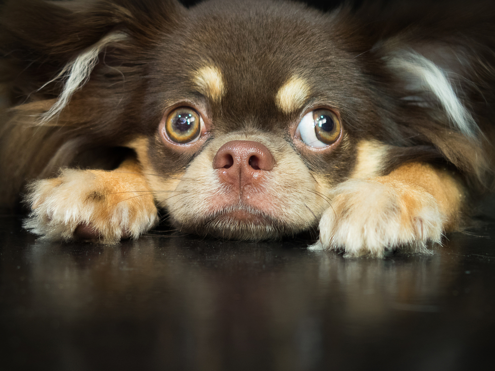 Does your chihuahua suffer with separation anxiety?