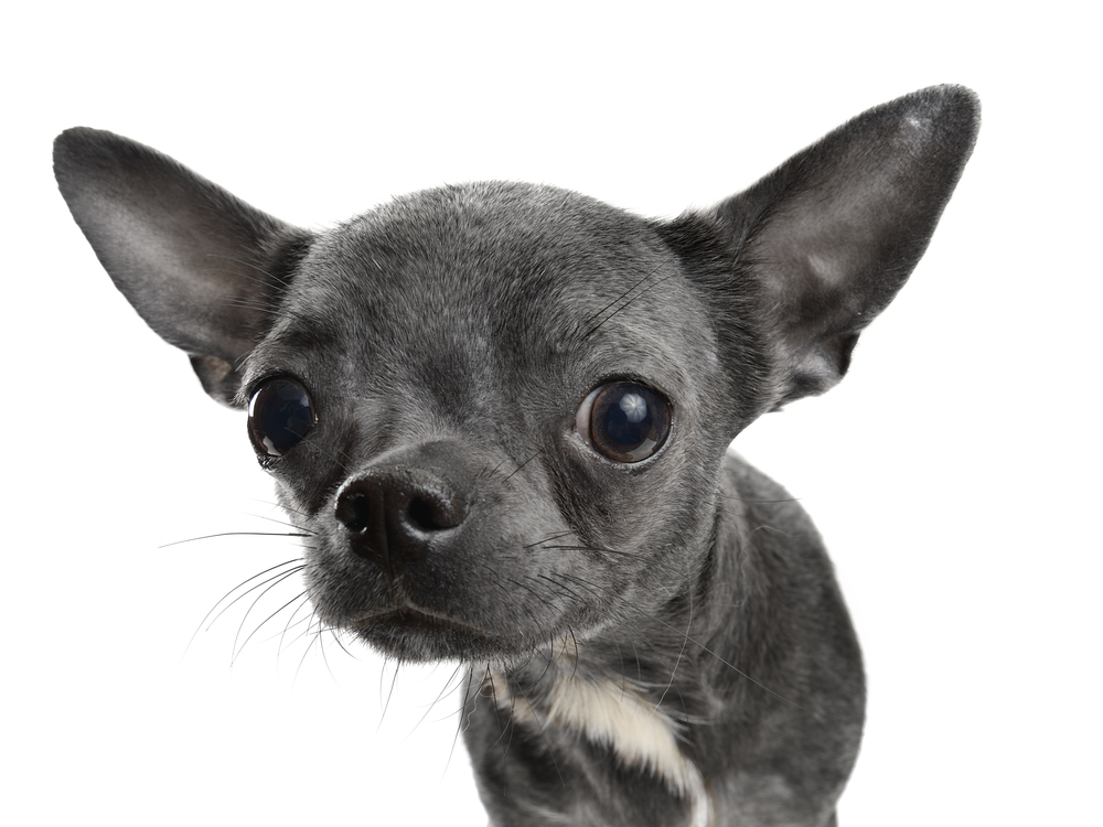 Are spot on flea treatments bad for your chihuahua?