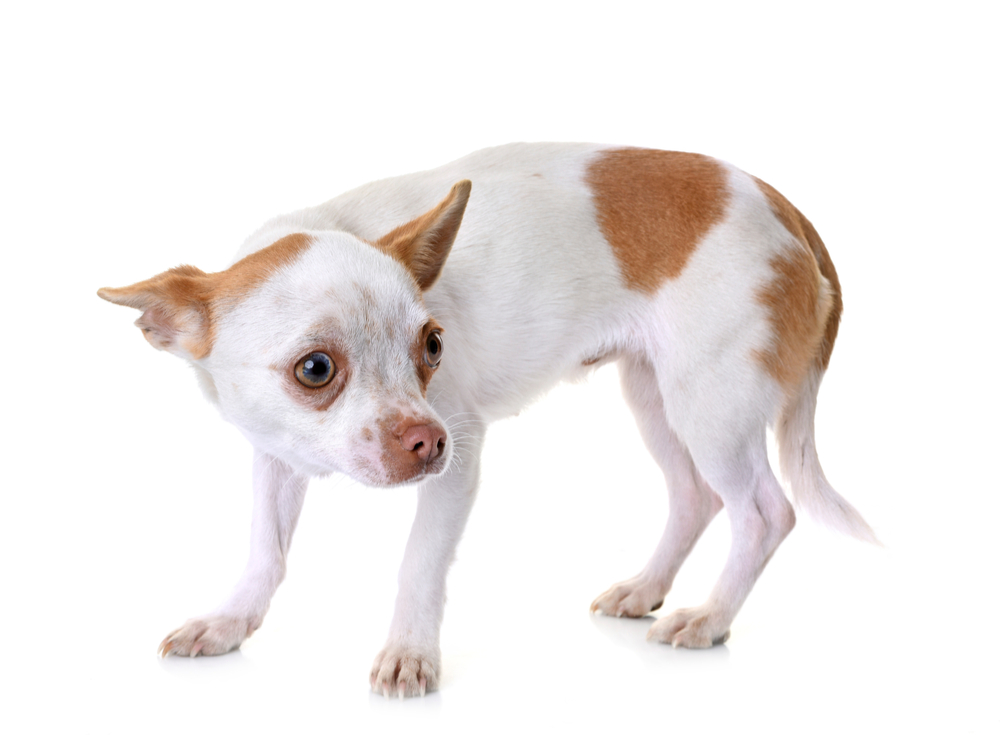 How to help a nervous chihuahua