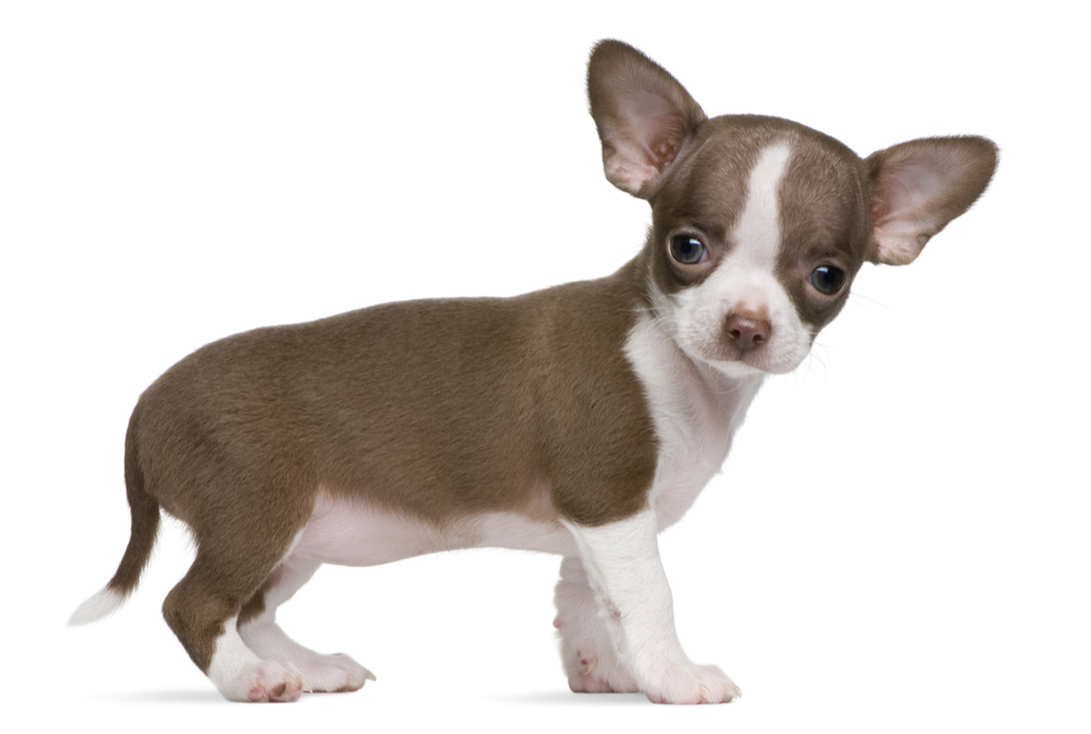 9 things your must do with your chihuahua puppy from the off!