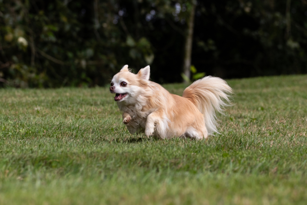 Should I let my chihuahua off lead?